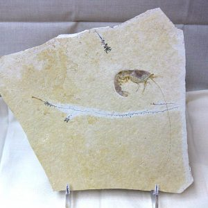 Fossil Jurassic Age Shrimp from the Solnhofen Limestone of Germany
