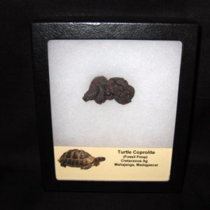 Cretaceous age Turtle Coprolite (Fossil Poop) from Republic of Madagascar