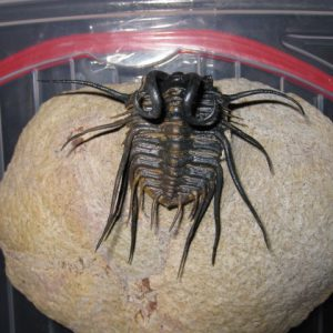 Devonian Age Dicranurus monstrosus Trilobite from Morocco North Africa