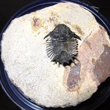 Devonian Age Lobopyge Trilobite from Morocco North Africa