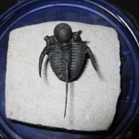 Devonian Age Otarion Trilobite from Morocco North Africa