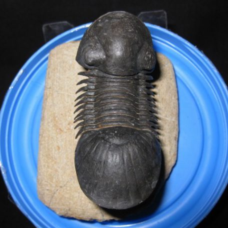 Devonian Age Paralejurus Trilobite from Morocco North Africa