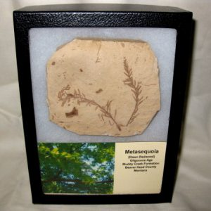 Oligocene Age Metasequoia Dawn Redwood Fossil Leaf Plate from Montana