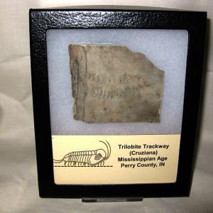 Mississippian Age Fossil Cruziana Trilobite Trackway from Indiana