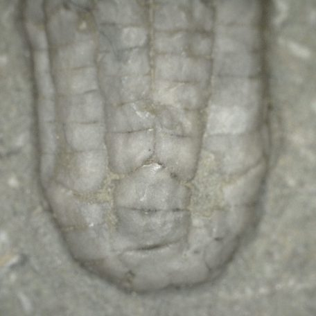 Mississippian Age Fossil Age Sacrocrinus varsovensis  Crinoid from the Edwardsville Formation of Crawfordsville Indiana
