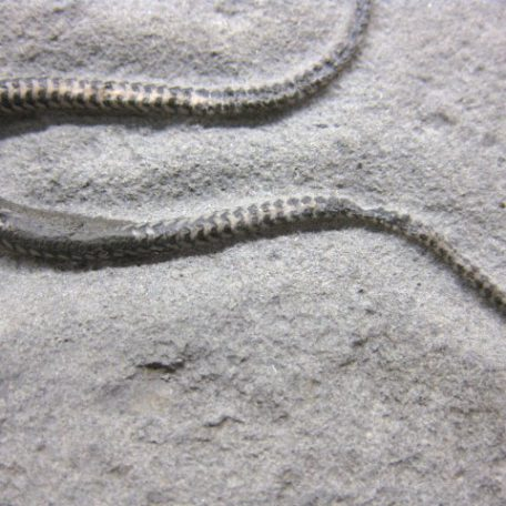 Fossil Jurassic Age Palaeocoma Brittle Star from England