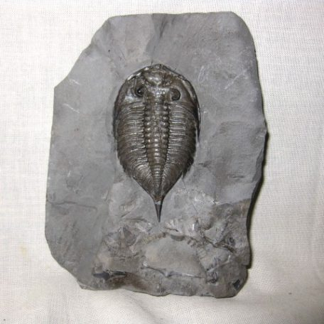 Fossil Silurian Age Dalmanites Trilobite from the Rochester Shale of New York