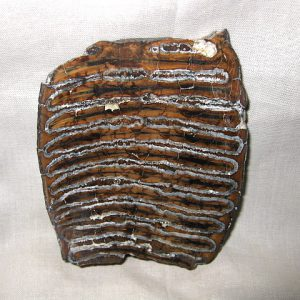 Fossil Pleistocene Age Mammoth Tooth Cross-Section from Alaska