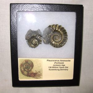 Fossil Jurassic Age Pyritized Pleuroceras Ammonite from Nuremburg Germany