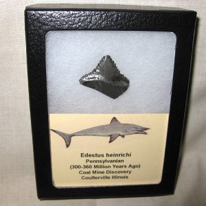 Fossil Pennsylvanian Age Edestus heinrichi Shark Teeth from Illinois