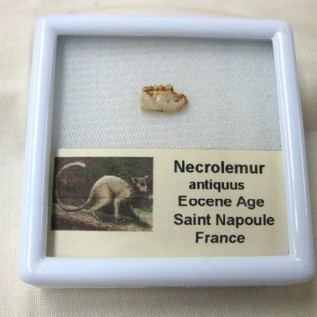 Fossil Eocene Age Necrolemur Extinct Primate Jaw Section from France