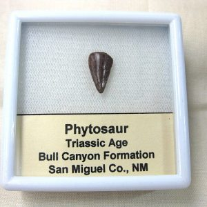 Fossil Triassic Age Phytosaur Reptile Tooth from New Mexico