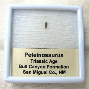 Fossil Triassic Age Peteinosaurus Pterosaur Tooth from New Mexico