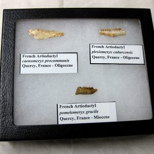 Fossil Miocene and Oligocene Age Artiodactyl Ungulate Mammal Teeth from Quercy France