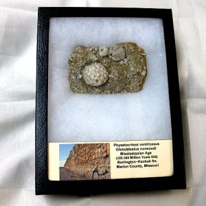 Fossil Mississippian Age Crinoid Plate from The Burlington Formation of Missouri