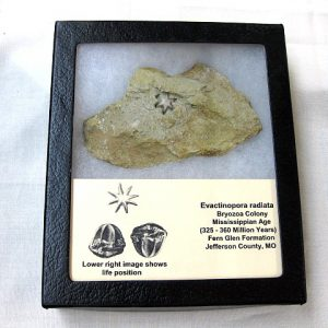 Fossil Mississippian Age Evactinopora Bryozoa from The Fern Glen Formation of Missouri