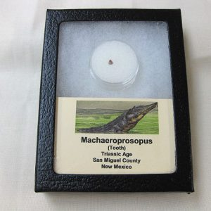 Fossil Triassic Age Machaeroprosopus Reptile Tooth from New Mexico