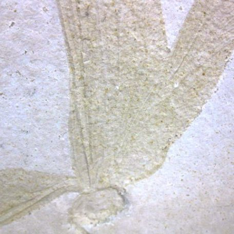 Fossil Jurassic Age Dragonfly from the Solnhofen Limestone of Germany
