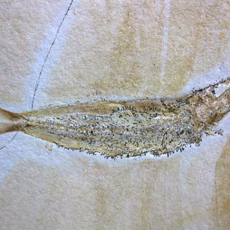 Fossil Jurassic Age  Fish from the Solnhofen Limestone of Germany