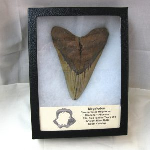 Fossil Miocene ~ Pliocene Carcharocles Megalodon Giant Shark Teeth from South Carolina