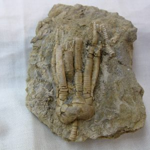 Fossil Mississippian Age Crinoid Plate from Alabama