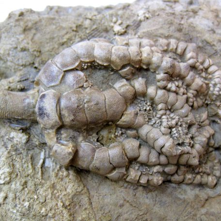 Fossil Mississippian Age Crinoid Plate from Illinois