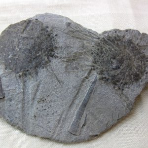Fossil Mississippian Age Echinoid Plate from St. Louis Missouri
