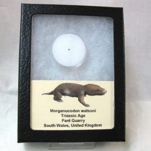 Fossil Triassic Age Morganucodon watsoni Mammal Tooth from The United Kingdom