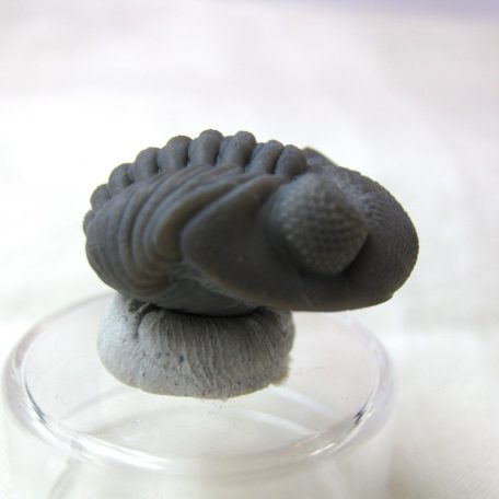 Fossil Devonian Age Phacapos Rana Trilobite from Ohio