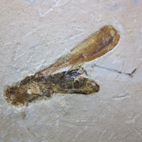 cretaceous brazil crato formation insect 105a
