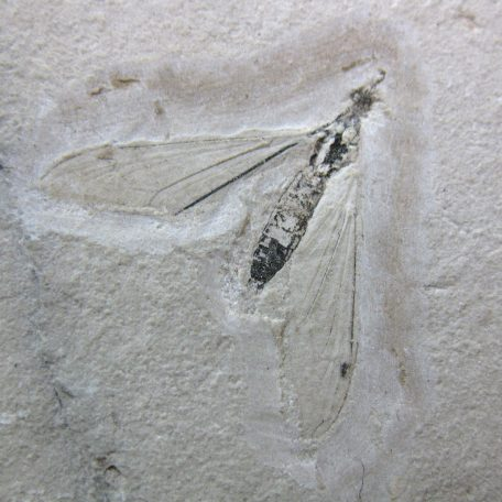 cretaceous brazil crato formation insect 52a