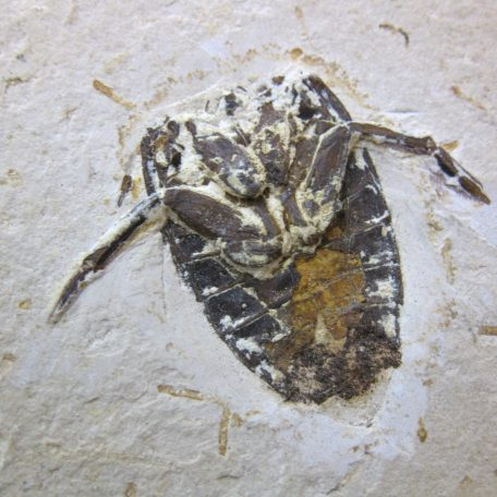 cretaceous brazil crato formation insect 53a