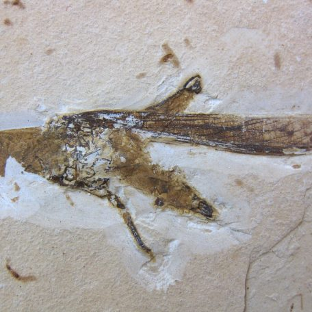 cretaceous brazil crato formation insect 56a
