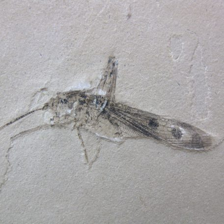 cretaceous brazil crato formation insect 57a