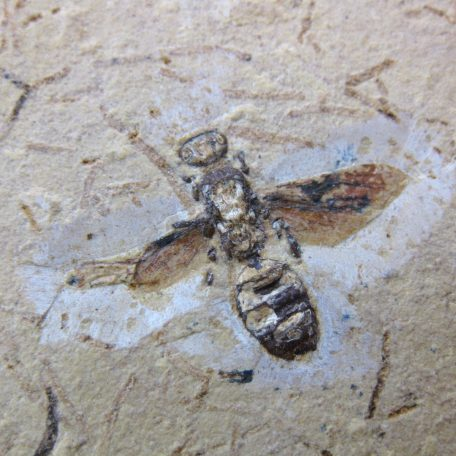 cretaceous brazil crato formation insect 59a