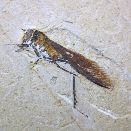 cretaceous brazil crato formation insect 66a