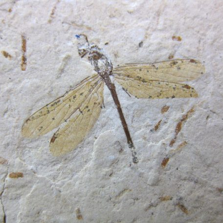 cretaceous brazil crato formation insect 71a