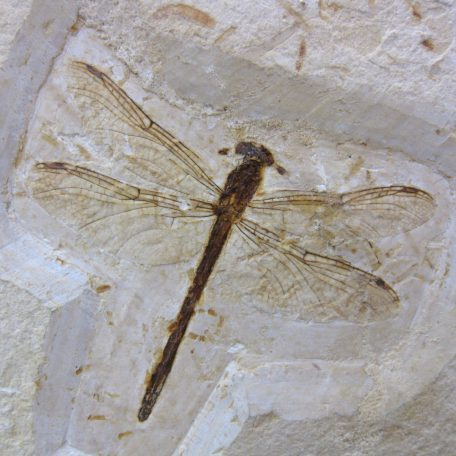 cretaceous brazil crato formation insect 80a