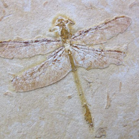 cretaceous brazil crato formation insect 83a