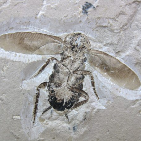cretaceous brazil crato formation insect 97a