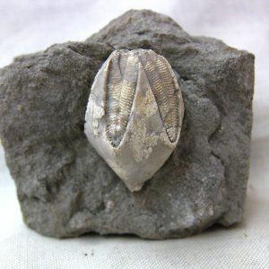 Fossil Ordovician Age Blastoid from Sulfur, Indiana