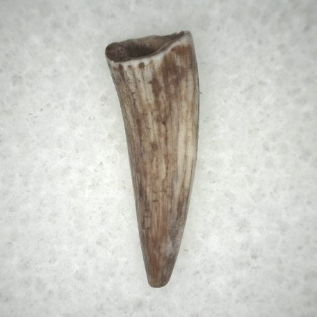 Fossil Triassic Age Rare Crocodylomorph Tooth from New Mexico