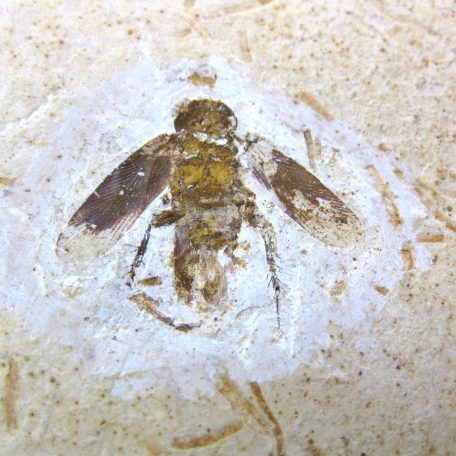 cretaceous crato insect 129a
